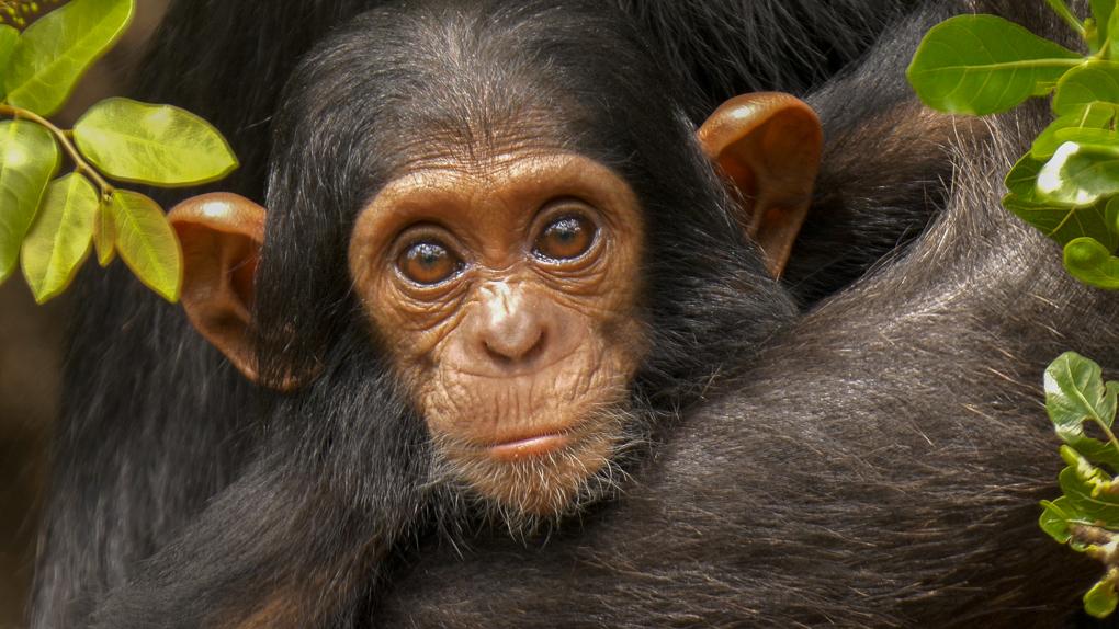 chimp baby 03-2