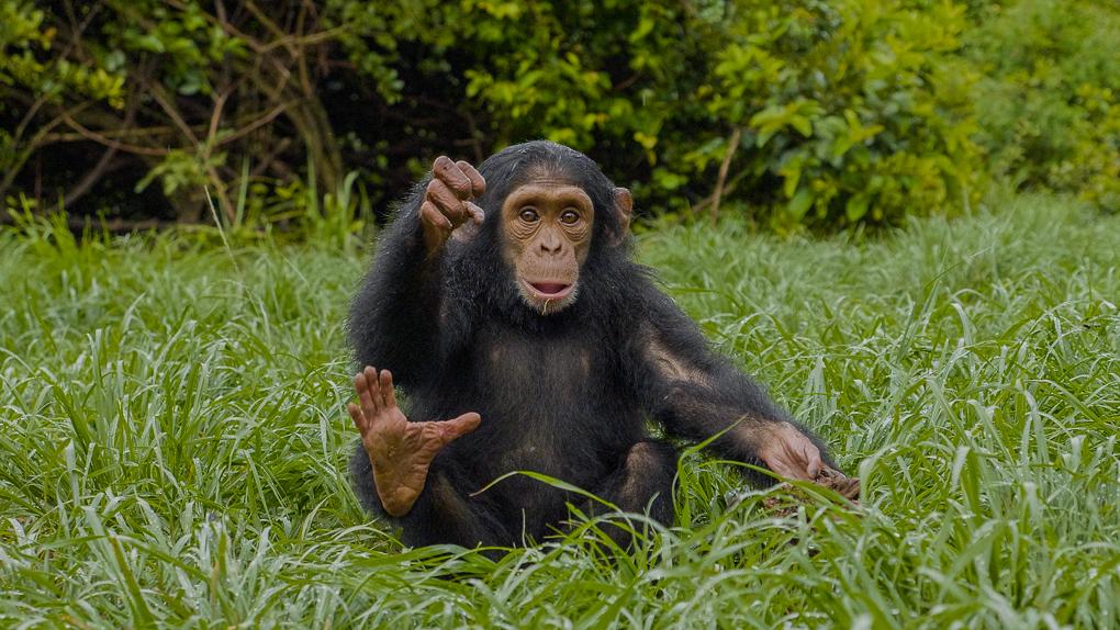 chimp baby 04-1
