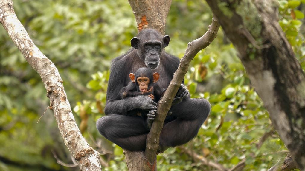 chimp baby-2