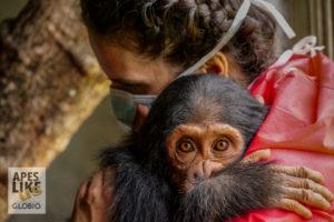 Chimfunshi USA wildlife vet with orphaned baby chimpanzee