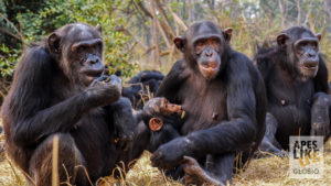Old and young chimps in Chimfunshi social group